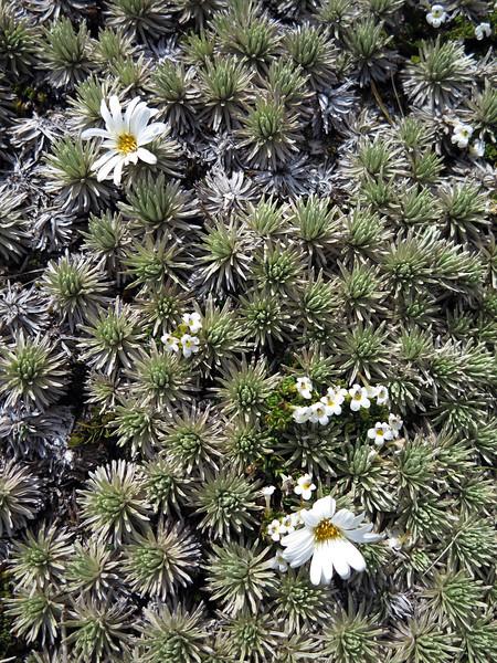 Mat daisy - Raoulia grandiflora