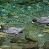 Whio or Blue Duck (Hymenolaimus malacorhynchos), Castle River
