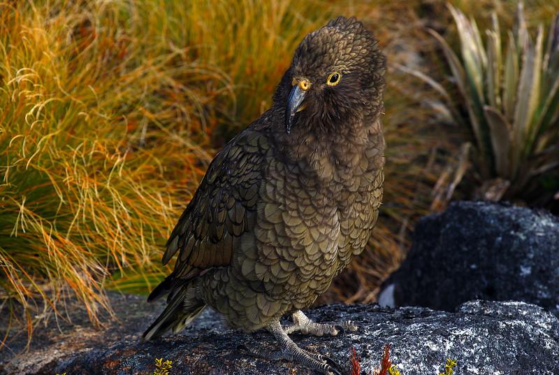 Juvenile kea (Nestor notabilis), Mt Cuthbert