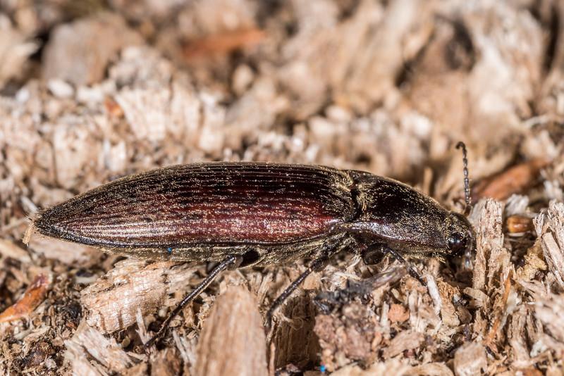 Click beetle. Loch Maree Hut, Dusky Track.