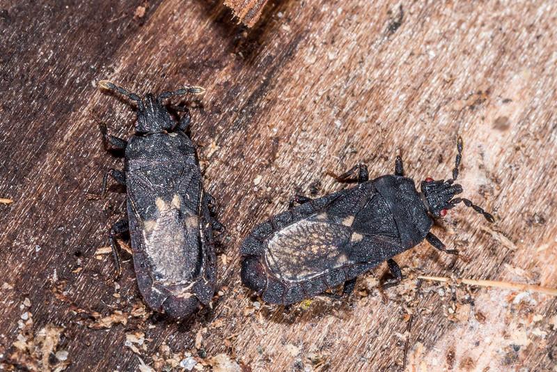 Bark bug (Ctenoneurus hochstetteri). Loch Maree Hut, Dusky Track.
