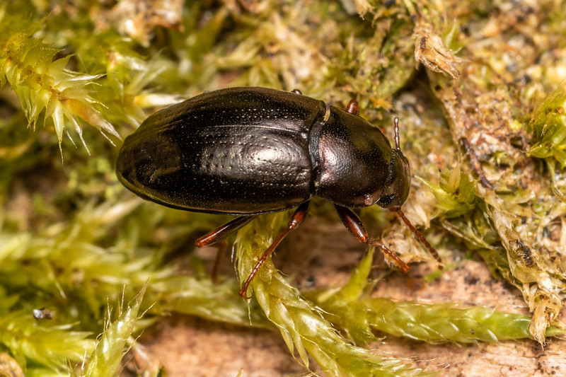 Darkling beetle (Cerodolus chrysomeloides). Cozette Burn, Fiordland National Park.