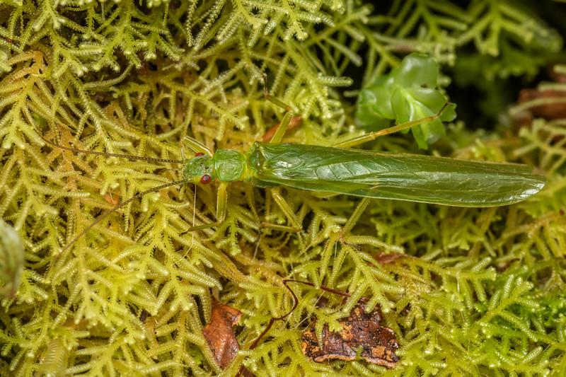 Large green stonefly (Stenoperla spp.). Cozette Burn, Fiordland National Park.