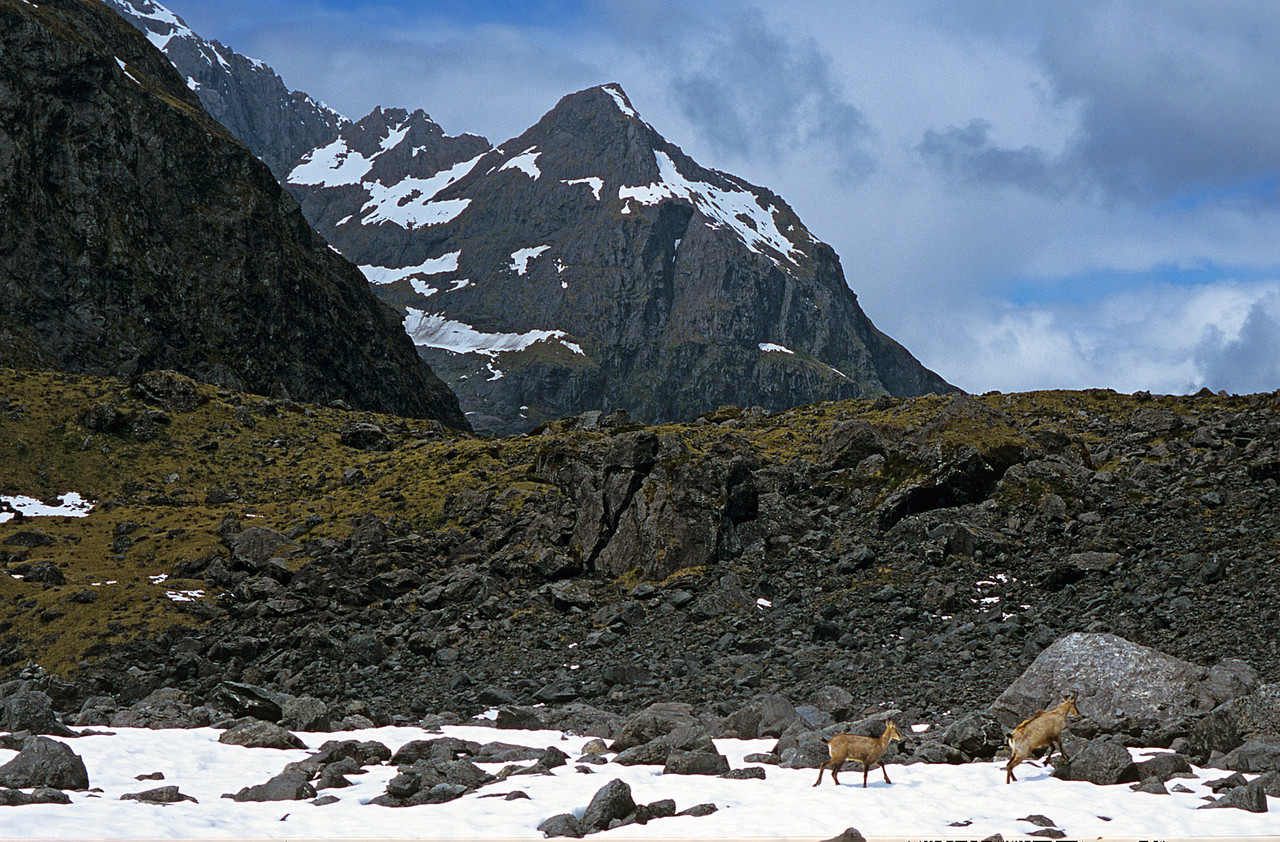 Chamois in front of Mt Tuhawaiki's outlier 1644m, Lake Adelaide