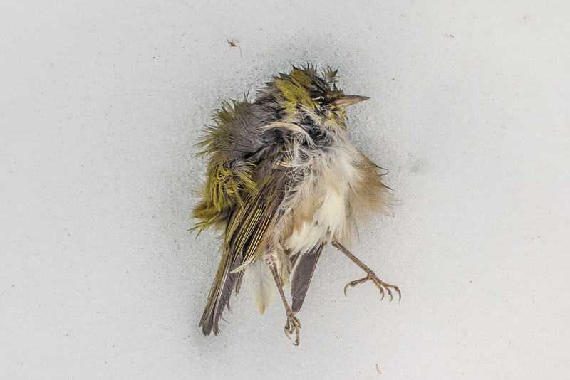 What a place for a forest bird to die... near the summit of Jean Batten Peak. Silvereye (Zosterops lateralis)
