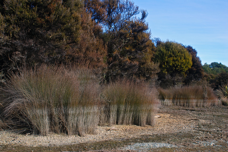 High water mark on sedges, Shallow Bay, Lake Manapouri.