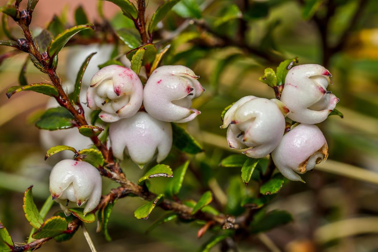 Snowberry (Gaultheria depressa var. novae-zealandiae). Monowai Tops