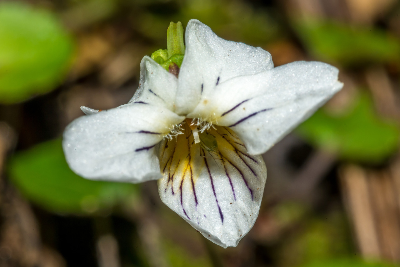 Forest violet (Viola filicaulis). Green Lake