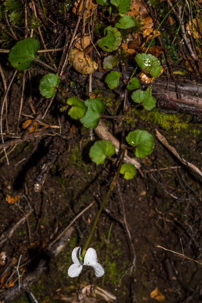 Forest violet (Viola filicaulis). Green Lake