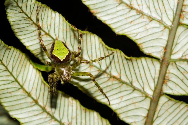 Green orbweb spider (Colaranea viriditas) hiding on the underside of a Blechnum fern. Lake Monowai to Green Lake Track, Fiordland National Park.