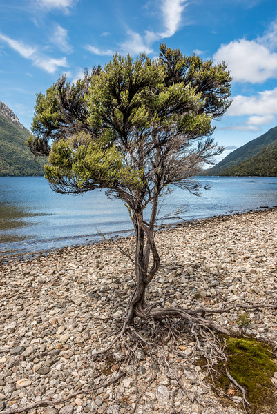 Mānuka (Leptospermum scoparium) tree on the western shore of Lake Poteriteri.