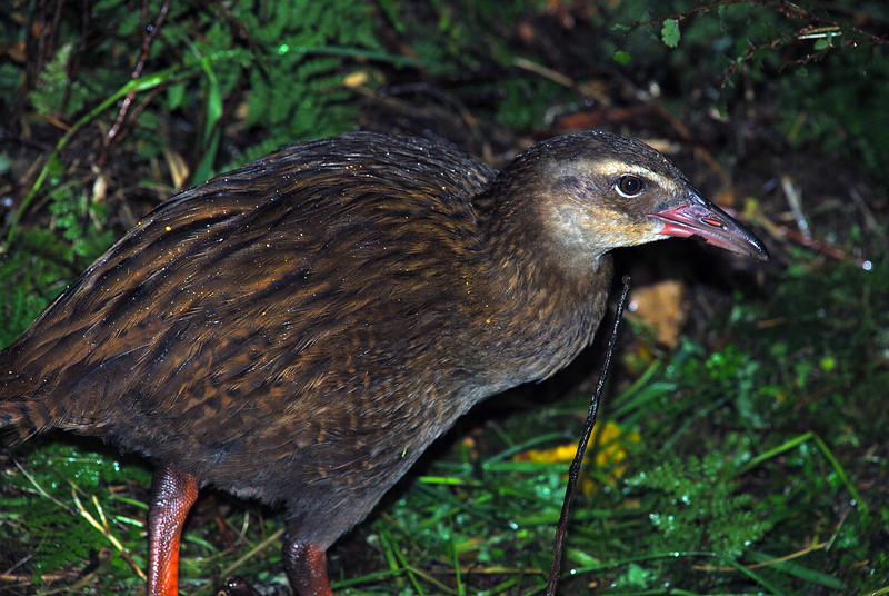 A visitor to our campsite in the Nicholas Cirque. Weka (Gallirallus australis)