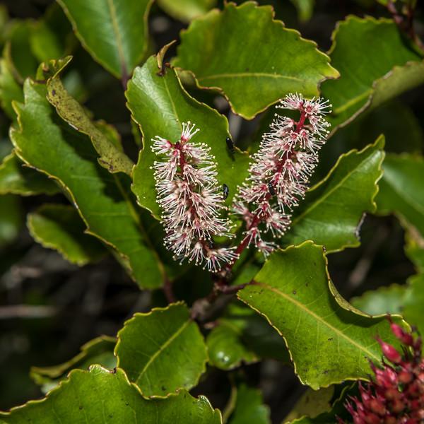 Kāmahi (Weinmannia racemosa). Lake Manapouri