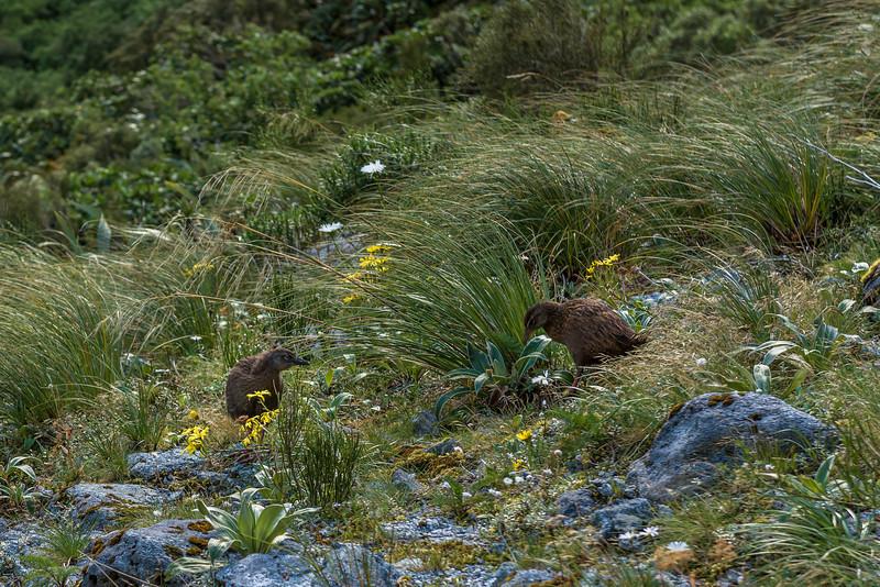 Weka (Gallirallus australis) with chick, Mackay Creek