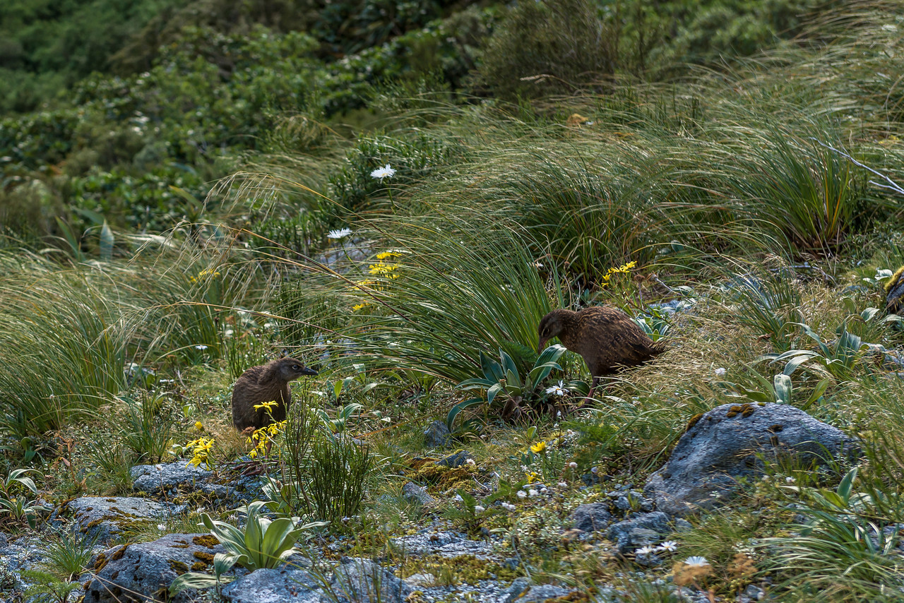 Weka (Gallirallus australis) with chick, Mackay Creek