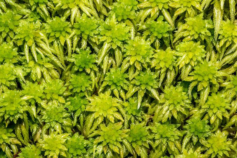 Sphagnum moss (Sphagnum cristatum). Marian Creek, Fiordland
