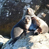 Fur seal pup and mother
