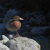 Whio or blue duck (Hymenolaimus malacorhynchos), Leader Creek