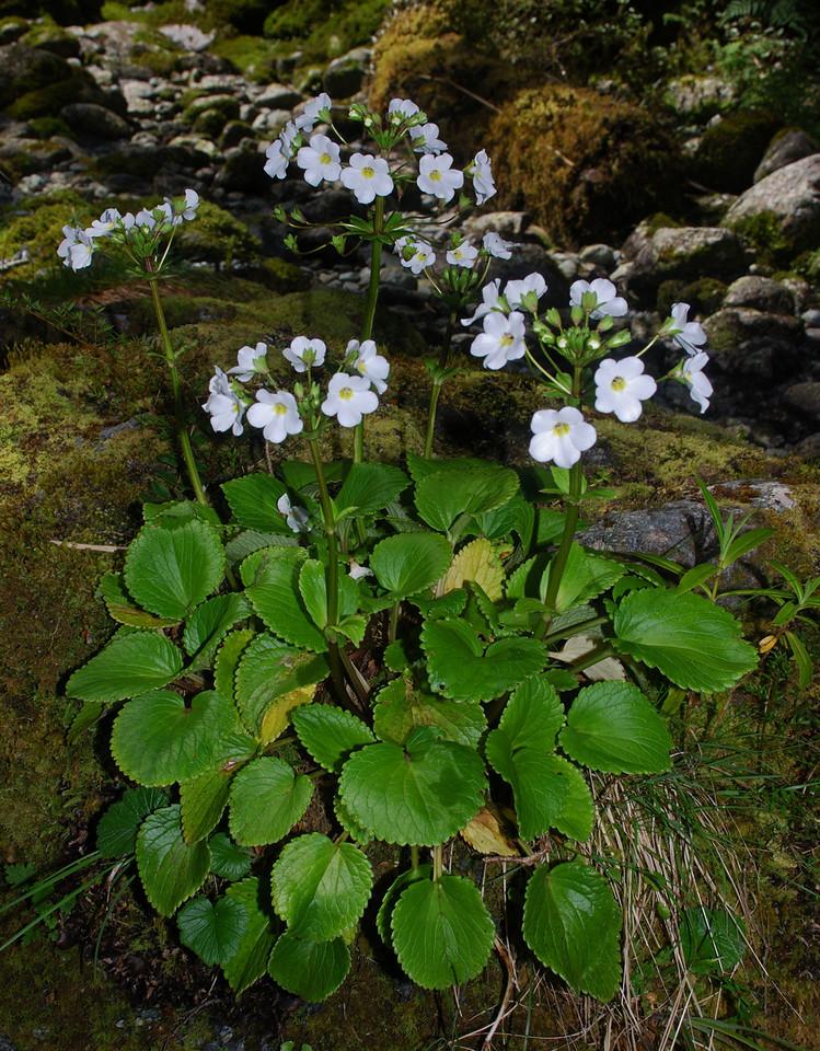 South Island mountain foxglove (Ourisia macrocarpa), Limerick Creek