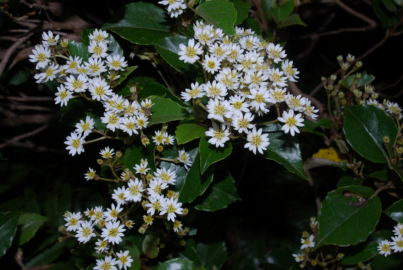 Scrub-bashing at the head of Leader Creek. At least it looks pretty and smells nice! Common tree daisy (Olearia arborescens)