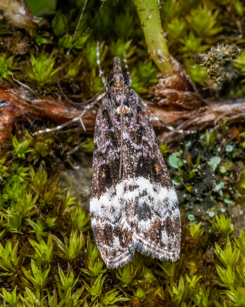Crambid moth (Scoparia minusculalis). Kiwi Burn mouth, Fiordland National Park.