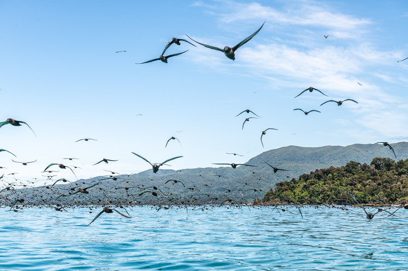 Sooty shearwaters (Ardenna grisea) on Te Waewae Bay.