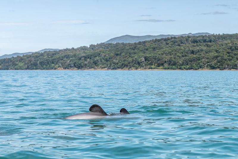 Hector's dolphins (Cephalorhynchus hectori). Te Waewae Bay.