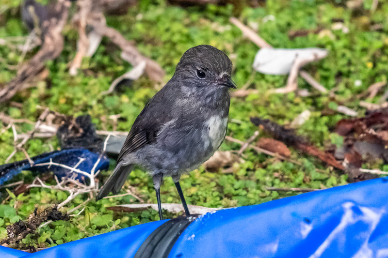 South Island robin (Petroica australis australis). Kiwi Burn mouth, Fiordland National Park.