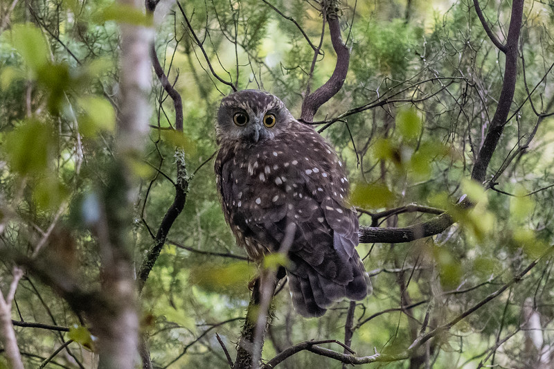 Morepork (Ninox novaeseelandiae). Treble Mountain, Dark Cloud Range.