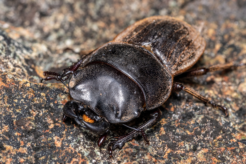 Helms's stag beetle (Geodorcus helmsi) male. Skippers Range, Fiordland National Park.