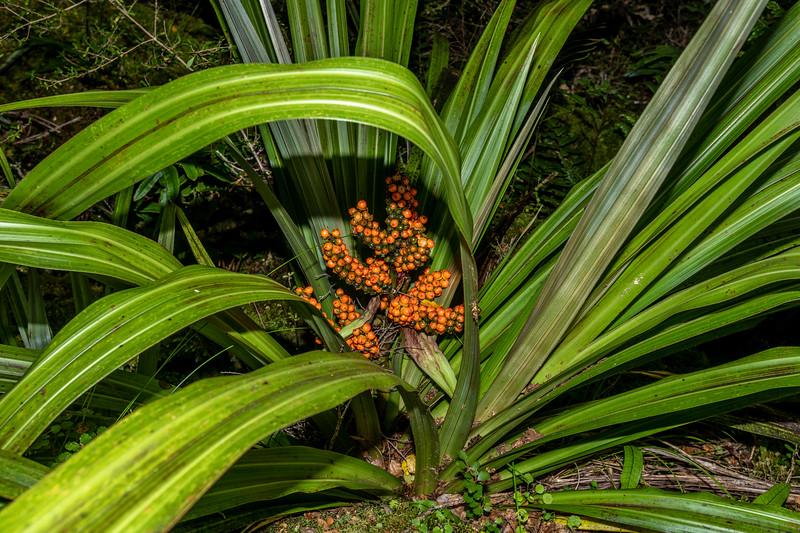 Bush flax / kakaha (Astelia fragrans). Hollyford Track, Fiordland National Park.