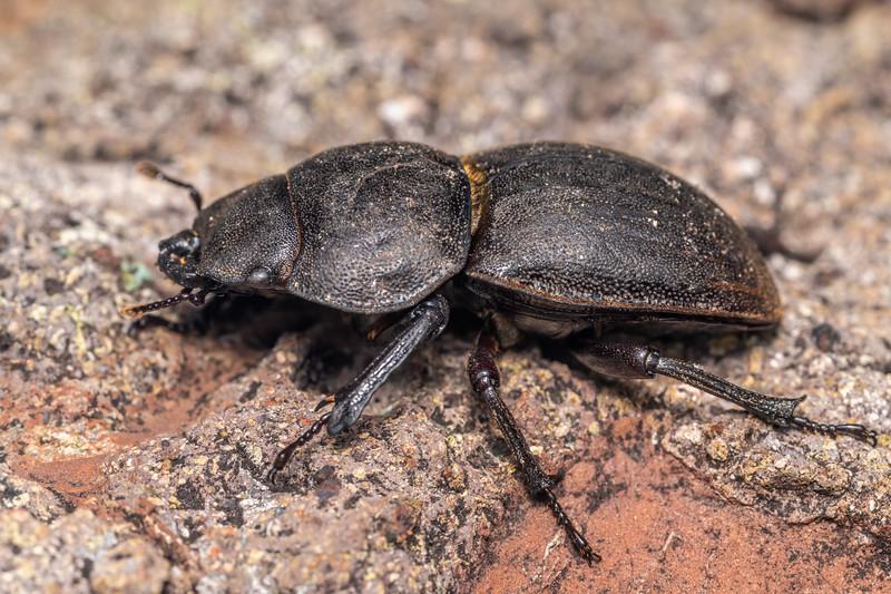 Helms's stag beetle (Geodorcus helmsi) female. Pt 1552m, Skippers Range, Fiordland National Park.