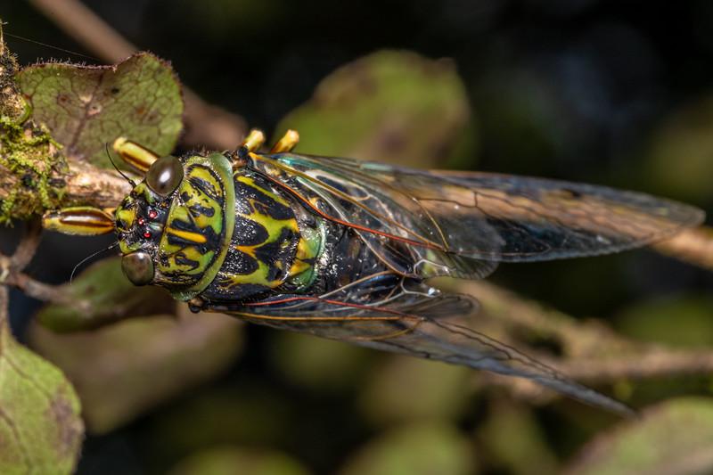 Chorus cicada (Amphipsalta zelandica). Pyke Lodge, Fiordland National Park.