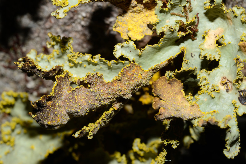 Lichens. Canyon Creek, Ahuriri