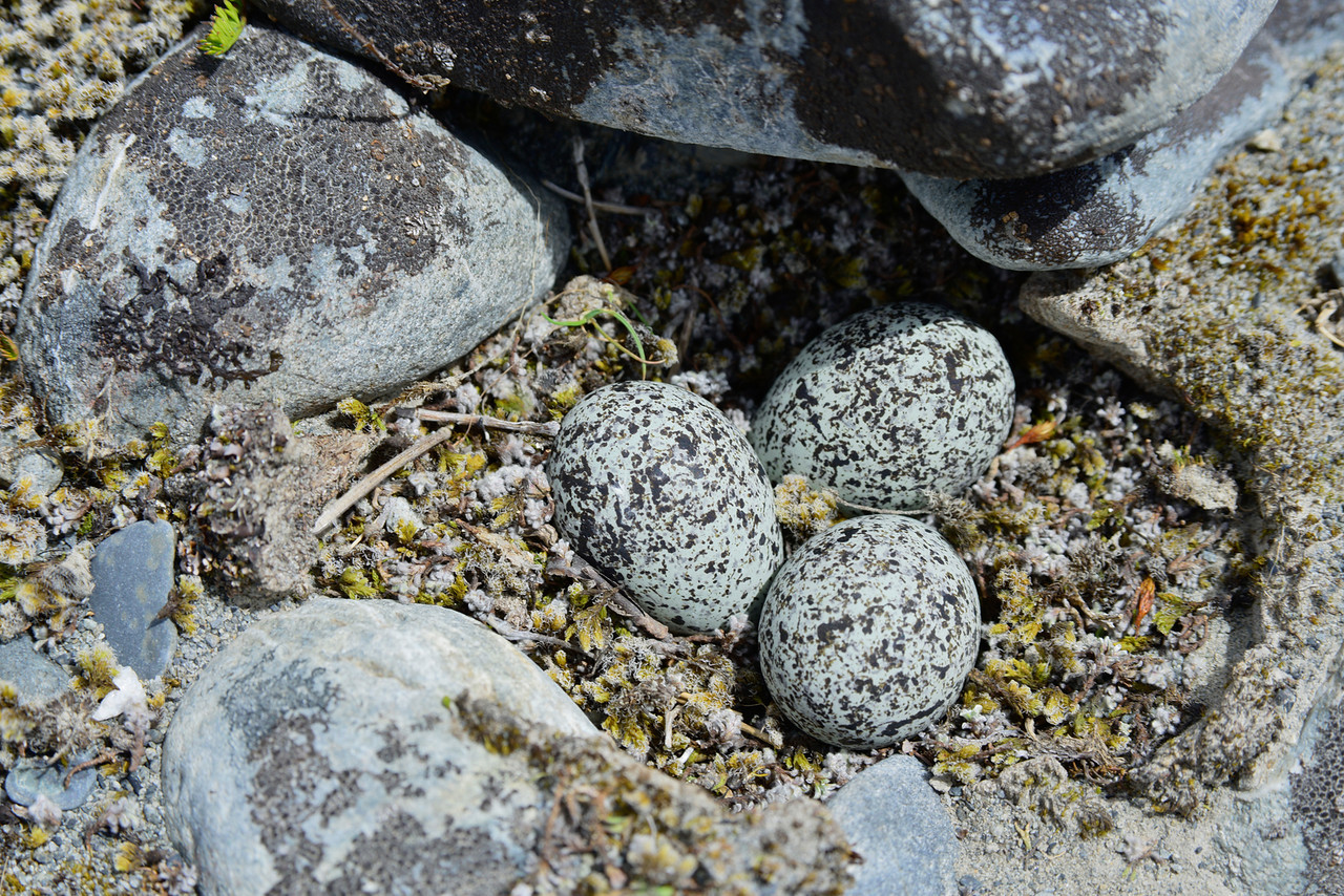 Well camouflaged banded dotterel / tūturiwhatu eggs (Charadrius bicinctus), Ahuriri river bed.