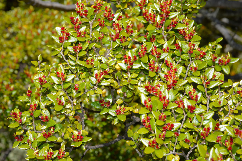 Mountain beech / tawhairauriki (Fuscospora cliffortioides) male flowers. Canyon Creek, Ahuriri