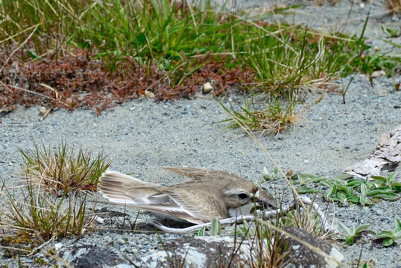 Banded dotterel / tūturiwhatu (Charadrius bicinctus), Ahuriri river bed. Broken wing display.