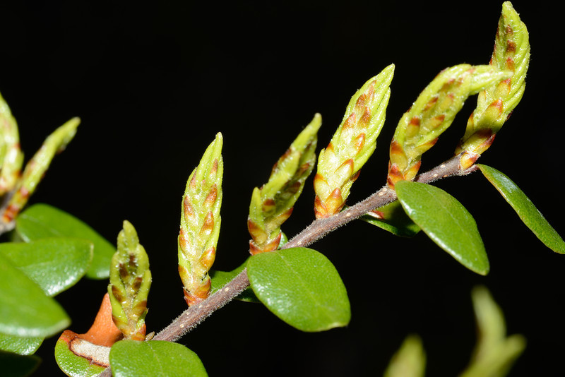 Mountain beech / tawhairauriki (Fuscospora cliffortioides) spring buds. Canyon Creek, Ahuriri