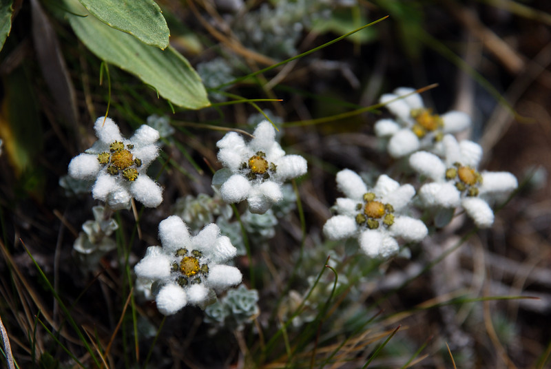 South Island edelweiss (Leucogenes grandiceps). Canyon Creek, Ahuriri