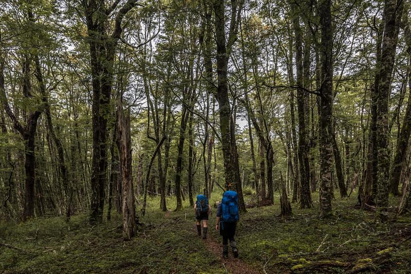 Walking through beech forest in Maitland Stream
