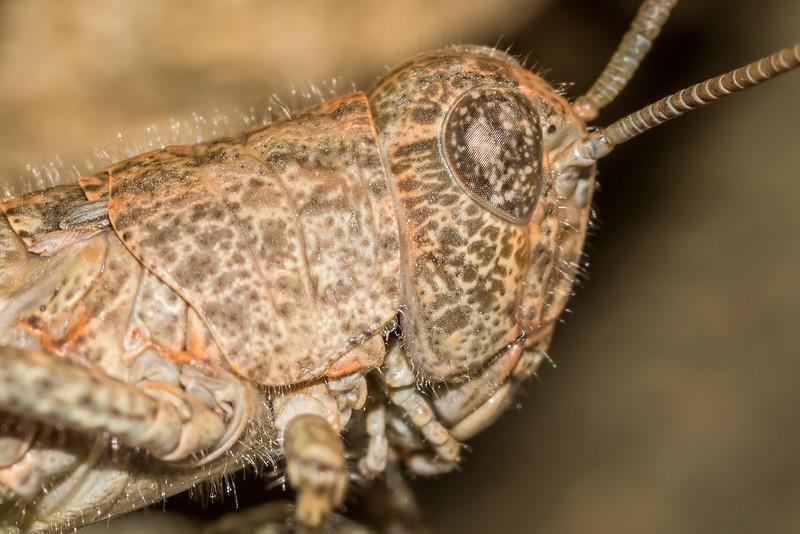 Alpine grasshopper or scree grasshopper (Brachaspis nivalis). Ahuriri River East Branch head basins.