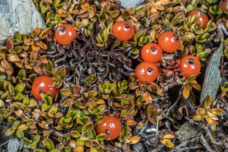Creeping coprosma (Coprosma perpusilla ssp. perpusilla). Young Range tops, Camerons Creek, Otago.