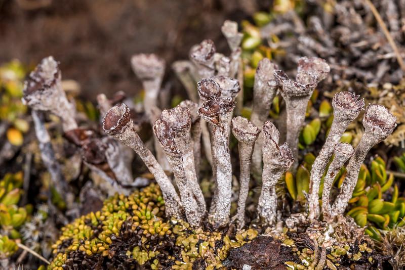 Pixie cup lichens (Cladonia spp.). Young Range tops, Camerons Creek, Otago.