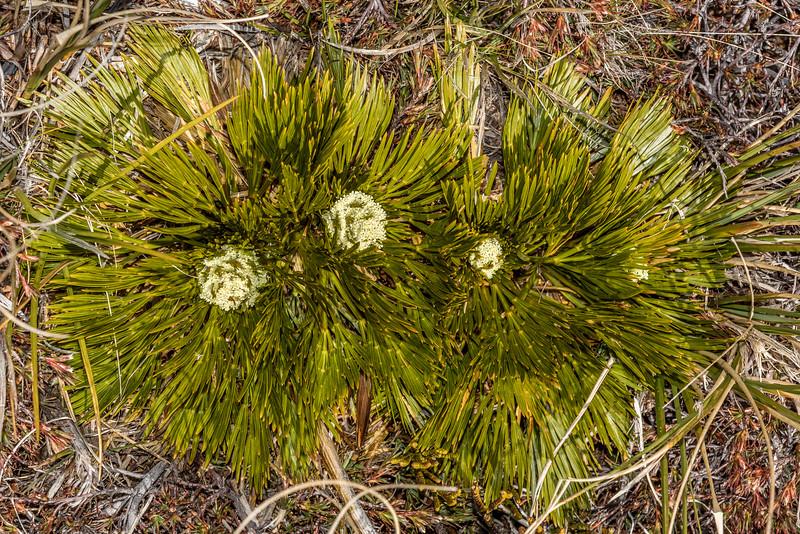 Aciphylla divisa. Young Range, Otago.