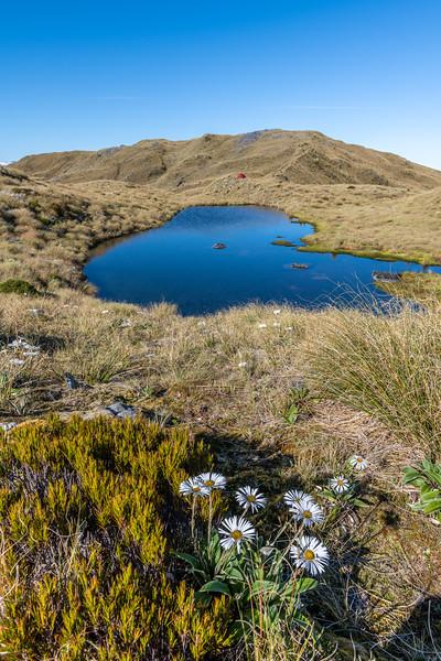 Mountain daisy (Celmisia verbascifolia) on Mataketake Range tops, Westland.