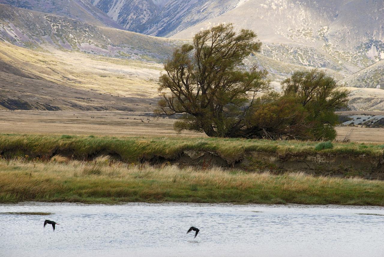 Kakī, or black stilt (Himantopus novaezelandiae), Ahuriri River