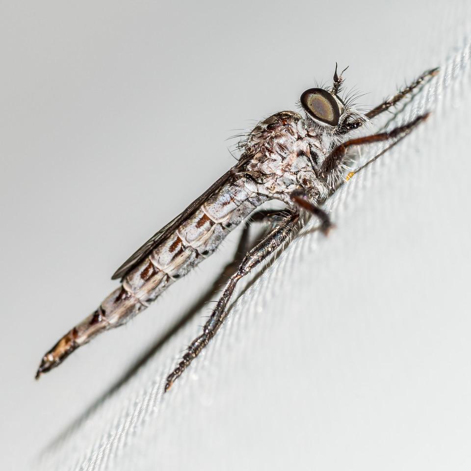 Female robber fly (Neoitamus spp.). Sawyer Burn Hut, Lake Hawea.