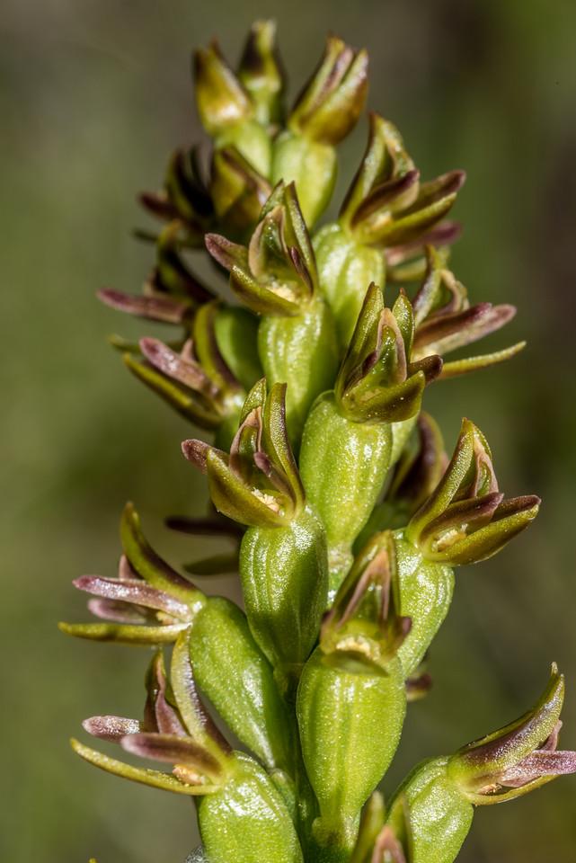 Leek orchid (Prasophyllum colensoi). Sentinel Peak, Lake Hawea.