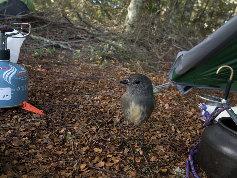 South Island Robin at camp