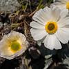 Ranunculus sp. near Homestead/Rob Roy Col